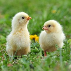 Polli e Pulcini