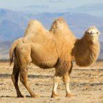 Cammelli e Camelidi